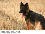 Купить «Немецкая овчарка на сжатом поле», фото № 500495, снято 22 августа 2008 г. (c) Cangaroo / Фотобанк Лори
