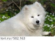 Купить «Самоедская собака в весеннем лесу среди подснежников», фото № 502163, снято 1 мая 2008 г. (c) Абрамова Ксения / Фотобанк Лори