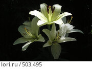 Купить «Букет лилий в темноте», фото № 503495, снято 25 июня 2007 г. (c) Тарасова Татьяна / Фотобанк Лори