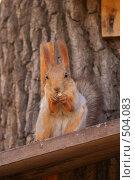 Рыжая белка грызет орех. Стоковое фото, фотограф Владислав Пугачев / Фотобанк Лори