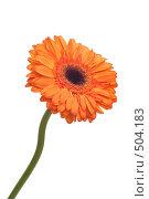 Купить «Оранжевая гербера. Вертикально.», фото № 504183, снято 11 октября 2008 г. (c) Лошкарев Антон / Фотобанк Лори