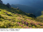 Купить «Цветы рододендрона на горном склоне», фото № 506967, снято 25 июня 2008 г. (c) Юрий Брыкайло / Фотобанк Лори