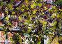 Растущие грозди винограда, фото № 507999, снято 24 сентября 2008 г. (c) Даша Богословская / Фотобанк Лори