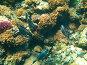 Рыба (Acanthurus) на коралловом рифе Красного моря, эксклюзивное фото № 508083, снято 29 сентября 2008 г. (c) Владимир Чинин / Фотобанк Лори