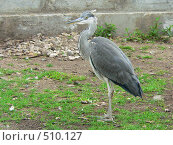 Птица секретарь. Стоковое фото, фотограф Олеся Шувалова / Фотобанк Лори