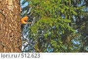 Белка сидящая на ветке ели. Стоковое фото, фотограф Алина Анохина / Фотобанк Лори
