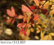 Купить «Барбарис обыкновенный, золотая осень», фото № 513807, снято 15 октября 2004 г. (c) Сергей Бехтерев / Фотобанк Лори