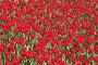 Фон: тюльпаны, фото № 515799, снято 11 мая 2008 г. (c) Роман Коротаев / Фотобанк Лори