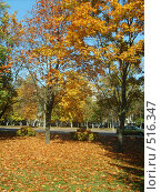 Осенние клены на солнце. Стоковое фото, фотограф Римма Радшун / Фотобанк Лори