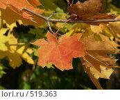 Купить «Клен остролистный, золотая осень», фото № 519363, снято 25 сентября 2004 г. (c) Сергей Бехтерев / Фотобанк Лори