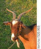 Купить «Коза-дереза», фото № 520903, снято 18 октября 2008 г. (c) Эдуард Цветков / Фотобанк Лори