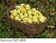 Купить «Плетеная корзина с яблоками», фото № 521459, снято 18 октября 2008 г. (c) Yevgeniy Zateychuk / Фотобанк Лори