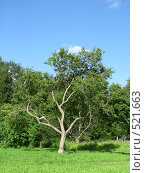 Дерево. Стоковое фото, фотограф Алексей Алексеев / Фотобанк Лори