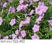 Купить «Сиреневые цветы», фото № 522403, снято 23 августа 2008 г. (c) Глеб Тропин / Фотобанк Лори