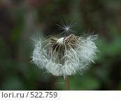 Купить «Одуванчик лекарственный», фото № 522759, снято 14 сентября 2004 г. (c) Сергей Бехтерев / Фотобанк Лори