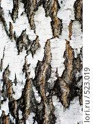 Кора берёзы. Стоковое фото, фотограф Александр Тимофеев / Фотобанк Лори