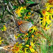 Коричневая бабочка на желтом цветке, фото № 523083, снято 27 мая 2017 г. (c) Вадим Кондратенков / Фотобанк Лори