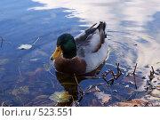 Утка в воде. Стоковое фото, фотограф Владислав Пугачев / Фотобанк Лори