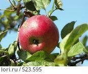 Купить «Яблоня домашняя, яблоко на фоне голубого неба», фото № 523595, снято 14 сентября 2004 г. (c) Сергей Бехтерев / Фотобанк Лори