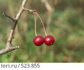 Купить «Яблоня ягодная, ранетки», фото № 523855, снято 1 октября 2004 г. (c) Сергей Бехтерев / Фотобанк Лори