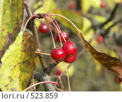 Купить «Яблоня ягодная, ранетки», фото № 523859, снято 1 октября 2004 г. (c) Сергей Бехтерев / Фотобанк Лори
