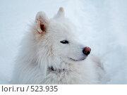 Портрет самоедской собаки, фото № 523935, снято 25 декабря 2005 г. (c) Александр Максимов / Фотобанк Лори