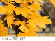 Осень, ветка клена, фото № 524927, снято 25 октября 2008 г. (c) Андрей Зык / Фотобанк Лори