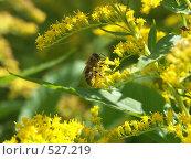 Купить «Пчела собирает нектар на желтых цветках», фото № 527219, снято 27 августа 2004 г. (c) Сергей Бехтерев / Фотобанк Лори