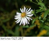 Купить «Садовый цветок», фото № 527267, снято 15 сентября 2004 г. (c) Сергей Бехтерев / Фотобанк Лори
