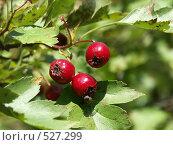 Купить «Боярышник, ягоды», фото № 527299, снято 15 сентября 2004 г. (c) Сергей Бехтерев / Фотобанк Лори