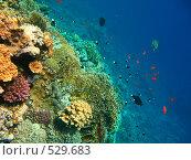 Купить «Стая рыб на коралловом рифе Красного моря», эксклюзивное фото № 529683, снято 29 сентября 2008 г. (c) Владимир Чинин / Фотобанк Лори