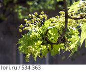 Купить «Ветка цветущего клёна», фото № 534363, снято 22 апреля 2007 г. (c) Роман Мельник / Фотобанк Лори
