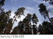 Купить «Еловый лес», фото № 536035, снято 27 октября 2008 г. (c) Сергей Лысенков / Фотобанк Лори