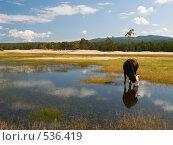 """Купить «Байкал. Остров """"Ольхон"""". Корова на заливном лугу.», фото № 536419, снято 6 сентября 2008 г. (c) Andrey M / Фотобанк Лори"""