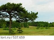 Одинокая сосна на поляне. Стоковое фото, фотограф Сергей Литвиненко / Фотобанк Лори