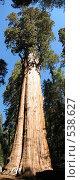 Купить «Дерево Секвойя», фото № 538627, снято 25 февраля 2020 г. (c) Yevgeniy Zateychuk / Фотобанк Лори
