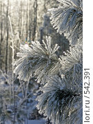 Купить «Хвоя кедра в инее», эксклюзивное фото № 542391, снято 3 ноября 2008 г. (c) Григорий Писоцкий / Фотобанк Лори
