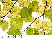Купить «Листья липы», фото № 544451, снято 9 октября 2008 г. (c) Андрюхина Анастасия / Фотобанк Лори