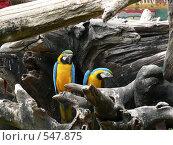 Попугаи арана дереве. Стоковое фото, фотограф Николаенкова Светлана / Фотобанк Лори