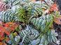 Первый иней на разноцветных листьях Лапчатки лежачей (Potentilla supina), эксклюзивное фото № 550063, снято 26 сентября 2006 г. (c) Тамара Заводскова / Фотобанк Лори