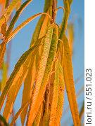 Желтые осенние листья на фоне синего неба. Стоковое фото, фотограф Евгений Жминько / Фотобанк Лори