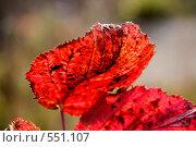 Красный осенний лист ежевики (малая глубина резкости) Стоковое фото, фотограф Евгений Жминько / Фотобанк Лори