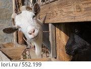 Любопытный козел. Стоковое фото, фотограф Александр Зайцев / Фотобанк Лори