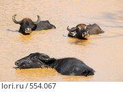 Черные буйволы в водоеме. Стоковое фото, фотограф Ольга Герасимова / Фотобанк Лори