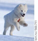 Купить «Щенок самоедской собаки», фото № 560711, снято 29 марта 2008 г. (c) Абрамова Ксения / Фотобанк Лори