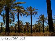 Купить «Пальмовый лес в Африке», фото № 561503, снято 21 мая 2008 г. (c) Aleksander Kaasik / Фотобанк Лори