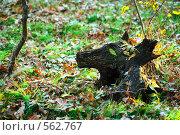 Купить «Коряга в осеннем лесу», фото № 562767, снято 11 ноября 2008 г. (c) Сергей Литвиненко / Фотобанк Лори