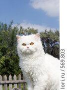 Купить «Белый кот в деревне», фото № 569803, снято 20 июля 2008 г. (c) Георгий Shpade / Фотобанк Лори