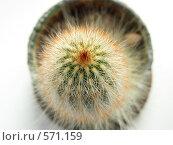 Макушка кактуса. Стоковое фото, фотограф Владимир Соловьев / Фотобанк Лори