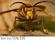 Купить «Поза угрожающего шершня на листе с каплями», фото № 576535, снято 6 октября 2008 г. (c) Виктор Уткин / Фотобанк Лори